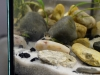 larva_mlok_skvrnity_salamandra_3